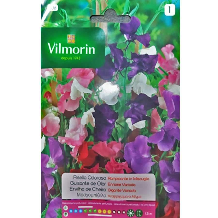 Vilmorin Nazende Çiçeği Sarmaşık