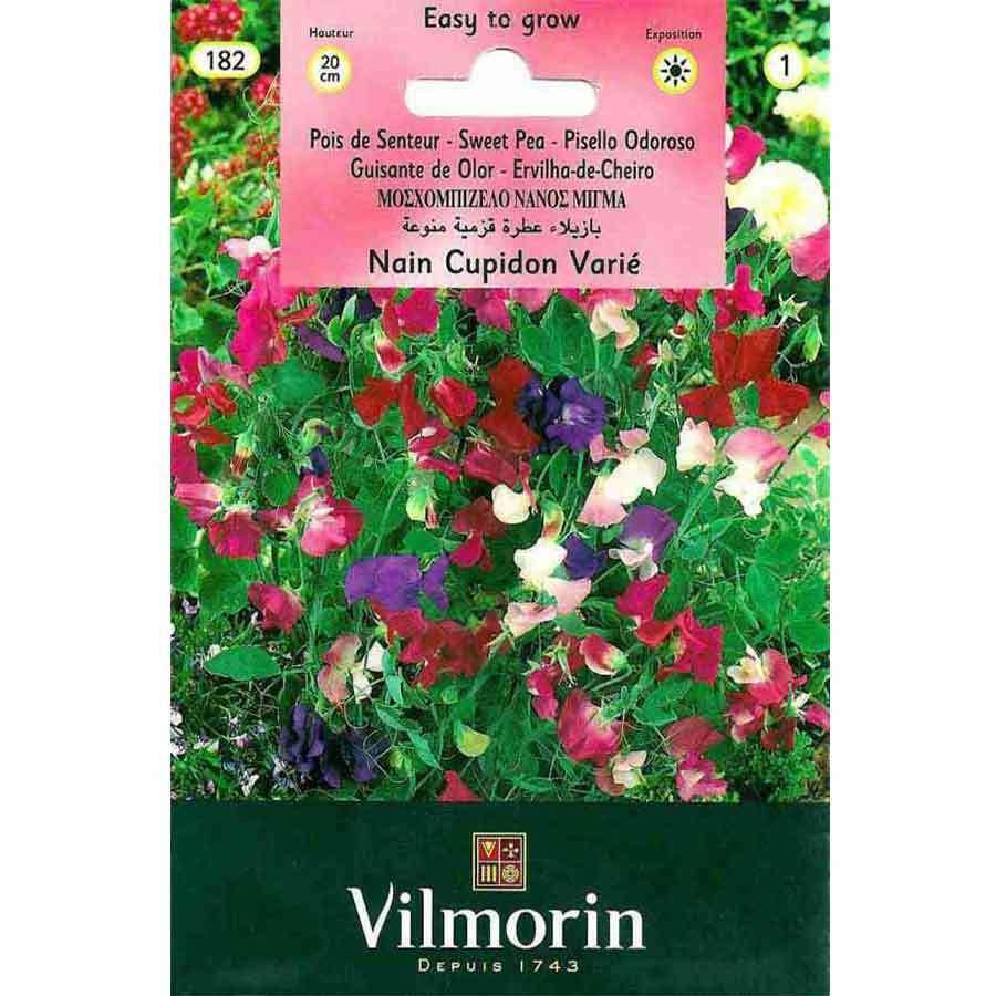 Vilmorin Bodur Nazende Çiçeği