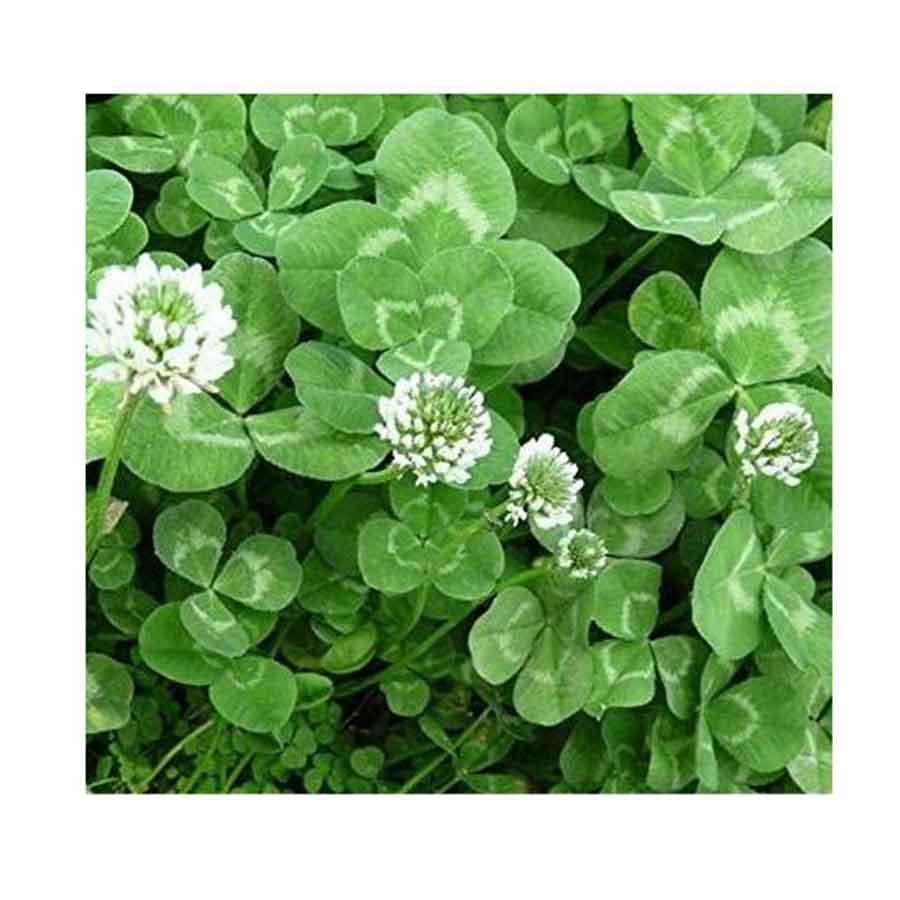 Trifolium Repens Süs Yoncası Tohumu 25 kg